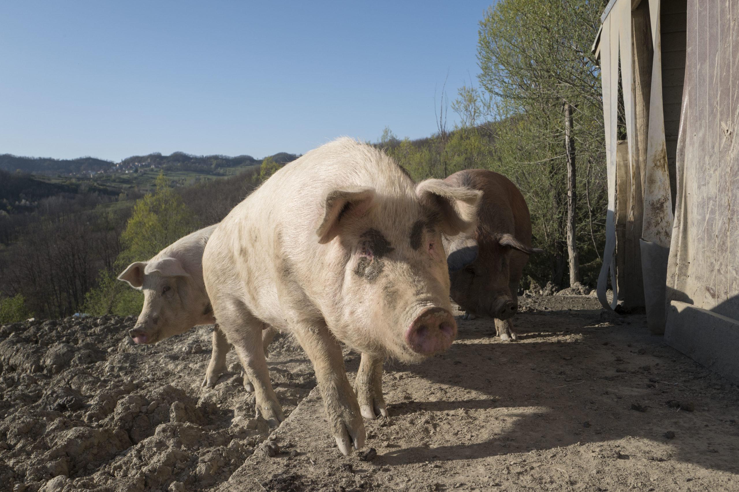 Foresteria La Merlina allevamento maiali